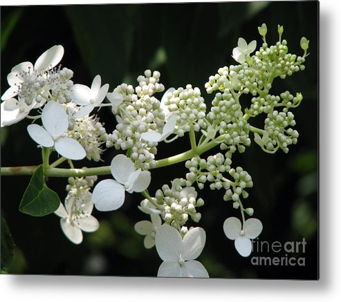 Hydrangea Metal Print featuring the photograph Simply by Amanda Barcon