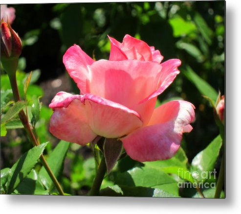 Rose Metal Print featuring the photograph Single Pink Rose by Lena Photo Art