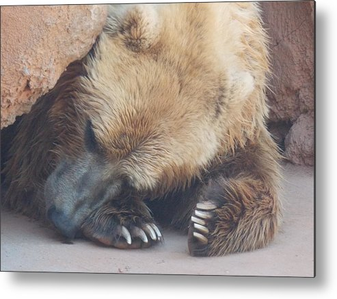 Sleeping Metal Print featuring the photograph Sleepy Grizzly Bear by Virginia Kay White