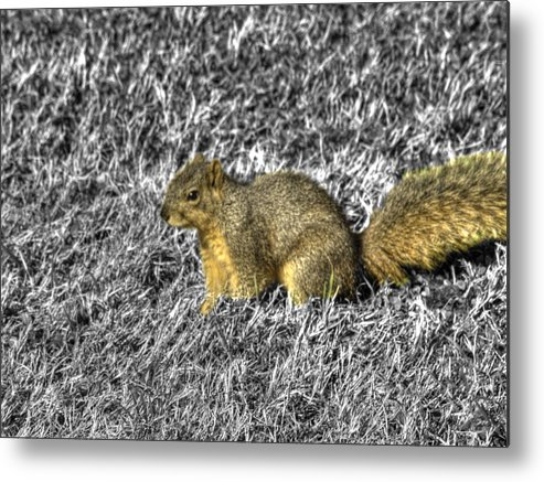 Hdr Metal Print featuring the photograph Squirrling Around Looking For Nuts by John Straton