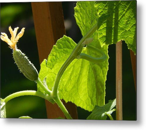 Summer Metal Print featuring the photograph Summer Cuke by Laura Elder