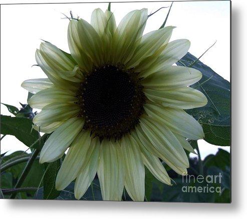 Sunflower Metal Print featuring the photograph Sunflower In Light by Scott B Bennett