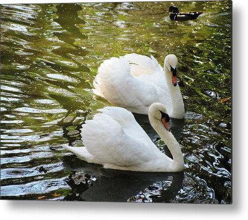 Birds Metal Print featuring the photograph Swans In Love by Kent Brown