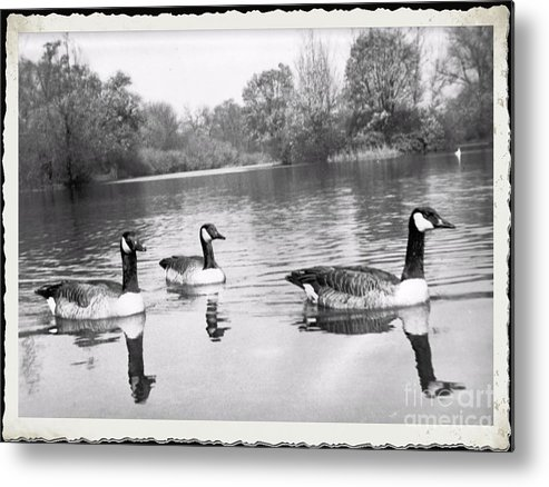 Metal Print featuring the photograph Swimming Geese- Vintage Photograph by Luther Fine Art