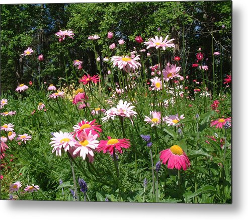 Tanacetum Coccineum In A Perennial Border. Metal Print featuring the photograph Tanacetum Coccineum by John Fahey