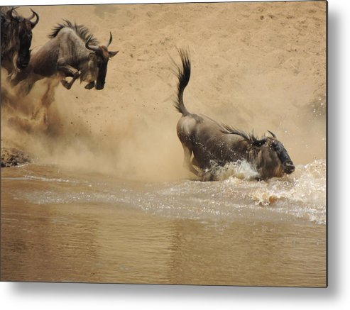 The Metal Print featuring the photograph The Great Migration Wildebeest Crossing by Lauren Armstrong