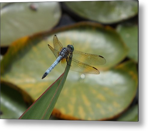 Lily Pond Metal Print featuring the photograph The Watcher by Caryl J Bohn