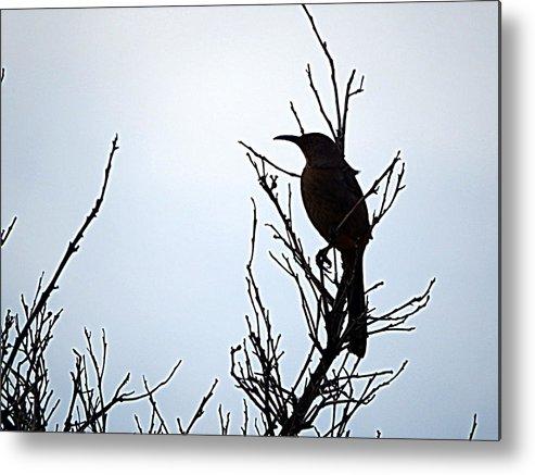 Bird Metal Print featuring the photograph Thrasher by Selma Glunn