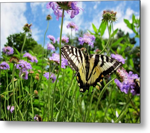 Tiger Swallowtail Butterfly Metal Print featuring the photograph Tiger Swallowtail On Pincushion Flowers by MTBobbins Photography