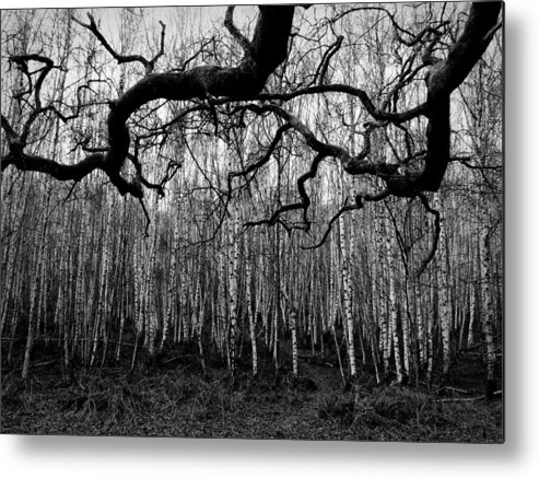 Bare Trees In Winter Metal Print featuring the photograph Towards The Silver Birches by Paul Chessell