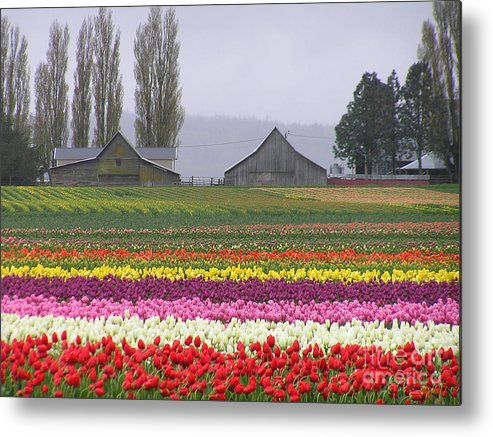 Tulips Metal Print featuring the photograph Tulip Town Barns by Louise Magno