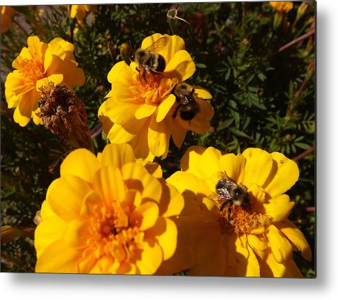 Animals Metal Print featuring the photograph Visiting Bees by Cheryl King