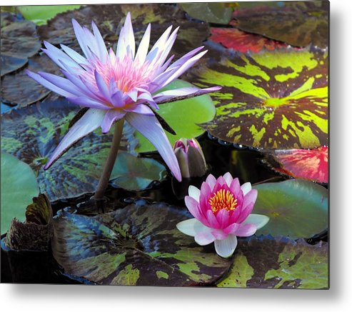 Flowers Metal Print featuring the photograph Water-lily by Bill Brown