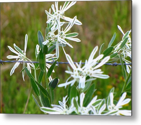Whie Flower Metal Print featuring the photograph White Flower by Sherri McCollum