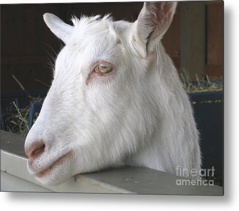 Goat Metal Print featuring the relief White Goat by Ann Horn