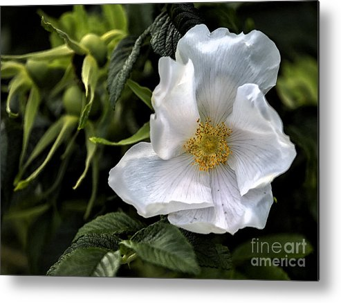 Rose Metal Print featuring the photograph White Rose by Belinda Greb