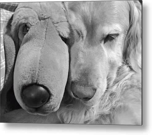 Golden Retriever Metal Print featuring the photograph Who Has The Biggest Nose Golden Retriever Dog by Jennie Marie Schell