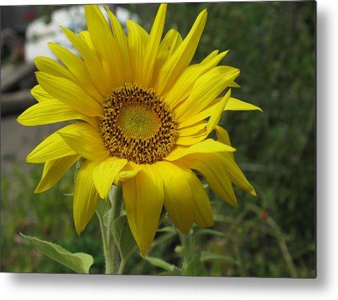 Sunflower Metal Print featuring the photograph Windblown Sunflower Two by Barbara McDevitt
