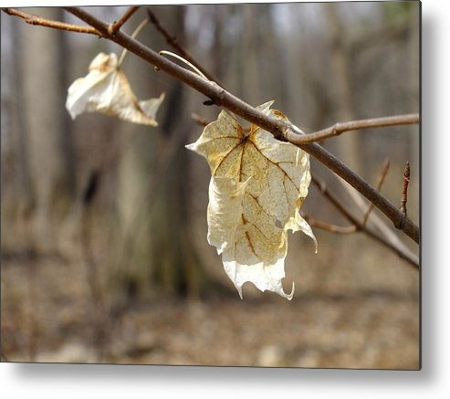 Nature Metal Print featuring the photograph Winter Bleached Leaves by Peggy King