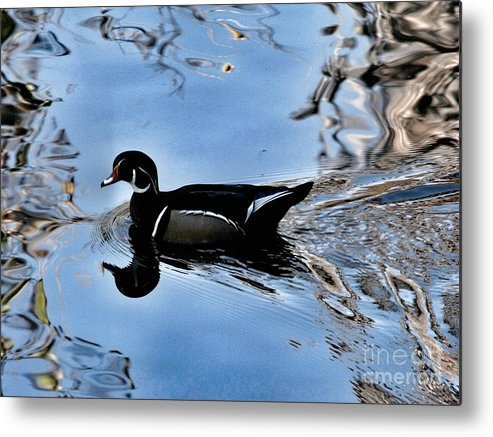 Bird Metal Print featuring the photograph Wood Duck In Motion by Phil Huettner