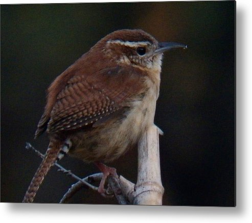 A Carolina Wren Resting On A Bamboo Stake Metal Print featuring the photograph Wren On Bamboo by Richard Goohs