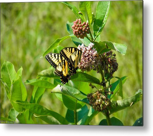 Yellow Metal Print featuring the photograph Yellow Butterflies by Nick Kirby