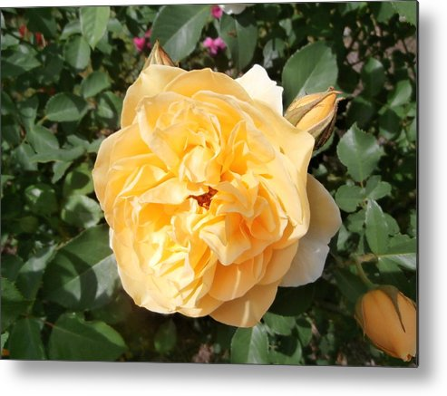 Yellow Rose Metal Print featuring the photograph Yellow Rose And Two Rosebuds by Kate Gallagher
