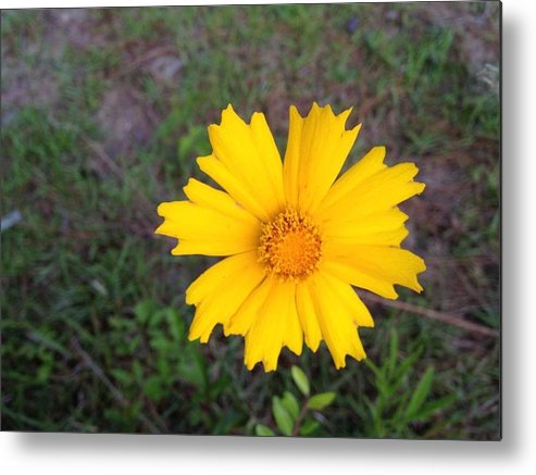 Wild Flower. Yellow Metal Print featuring the painting Yellow Sunshine by Ione Hedges
