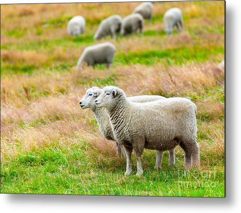 Sheep Metal Print featuring the photograph Sheeps by MotHaiBaPhoto Prints