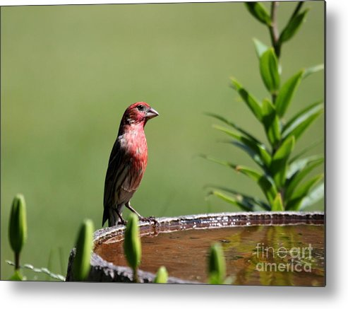 Nature Metal Print featuring the photograph House Finch by Jack R Brock