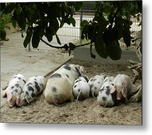 Pigs Metal Print featuring the photograph Baby Time by Irina Zelichenko