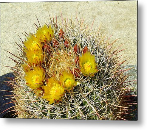 Anza Borrego Metal Print featuring the photograph Barrel Cactus by Christie Starr Featherstone