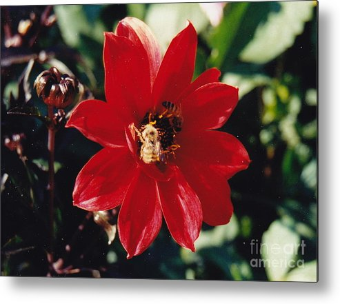 Red Dahlia Metal Print featuring the photograph Bee My Bud by Barbara Plattenburg