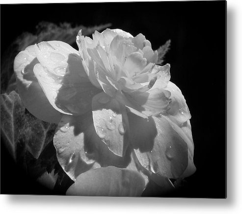 Black And White Metal Print featuring the photograph Begonia IIi by Penny Anast