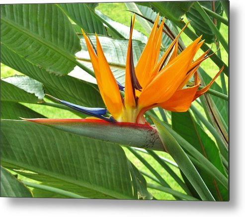 Bird Of Paradise Metal Print featuring the photograph Bird Of Paradise by Craig Wood