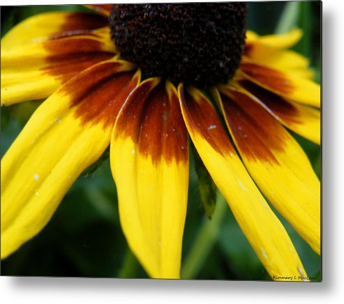 Black Metal Print featuring the photograph Black Eyed Susan by Kimmary MacLean