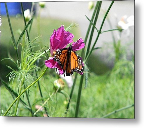 Butterfly Metal Print featuring the photograph Butterflies Fly by Katina Cote