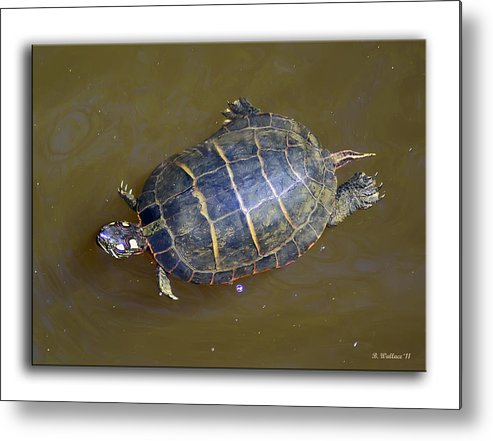 2d Metal Print featuring the photograph Chester River Turtle by Brian Wallace
