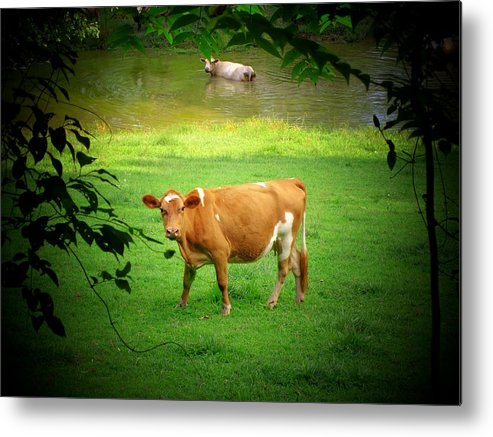 Cows Metal Print featuring the photograph Cows by Michael L Kimble