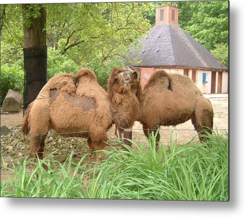 Camels Metal Print featuring the photograph Cozy Camels - Cleveland Metro Zoo 1 by S Taylor