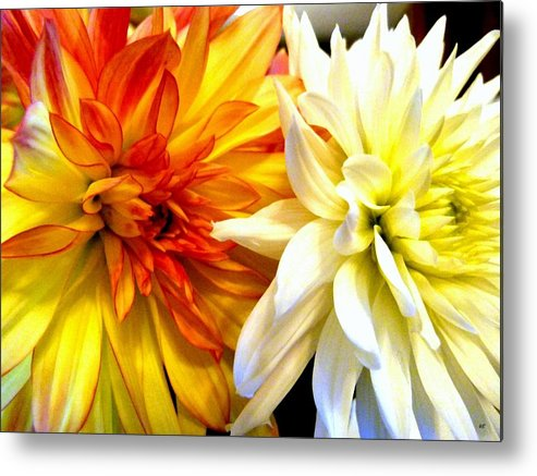 Dahlia Days Metal Print featuring the photograph Dahlia Days by Will Borden