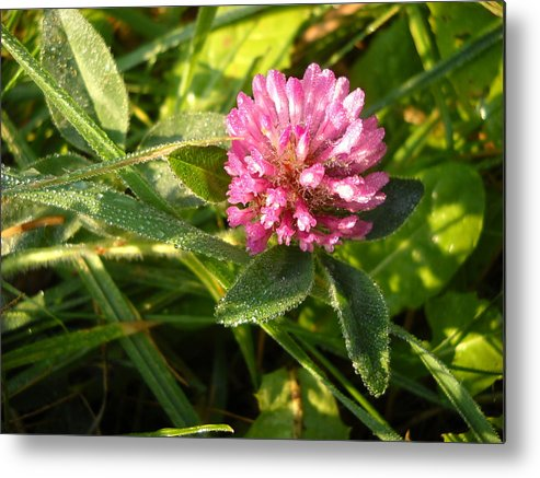 Close Up Metal Print featuring the photograph Dew Covered Clover Blossom by Kent Lorentzen