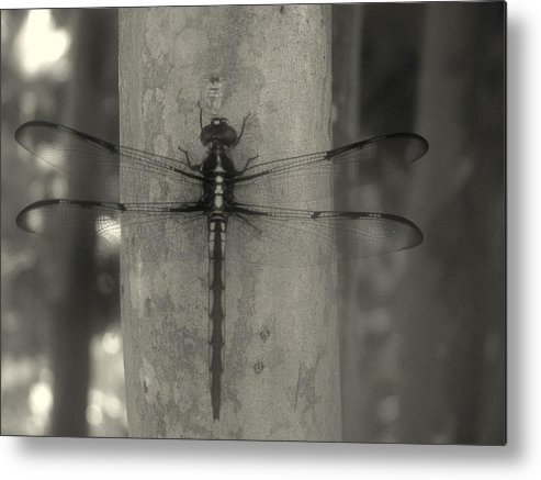 Nature Metal Print featuring the photograph Dragonfly by Katie OKeefe