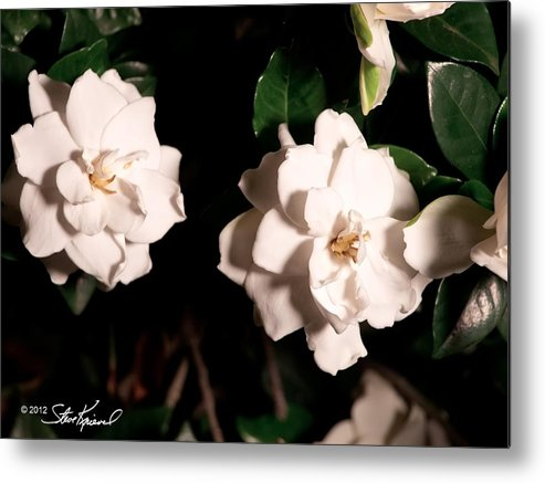 Gardenia Metal Print featuring the photograph Dual Gardenias by Steve Knievel