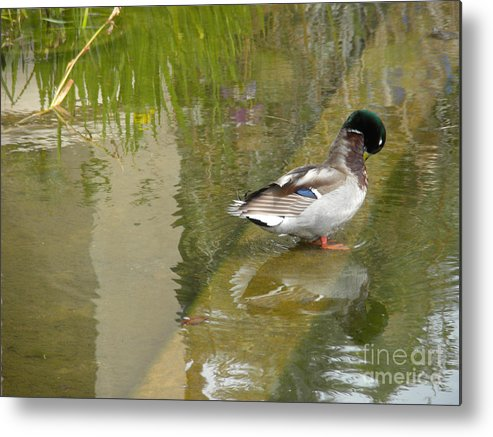 Nature Metal Print featuring the photograph Duck On A Ledge by Silvie Kendall