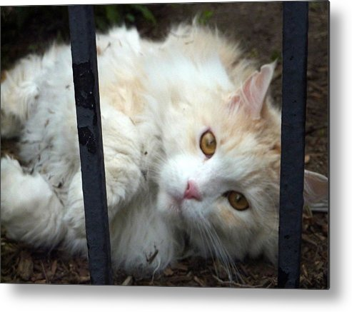 Cat Metal Print featuring the photograph Fluff Kitty by Dan Stone
