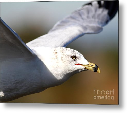 Bird Metal Print featuring the photograph Flying Seagull Closeup by Wingsdomain Art and Photography