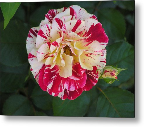 Rose Metal Print featuring the photograph George Burns Rose by Andrea Drake