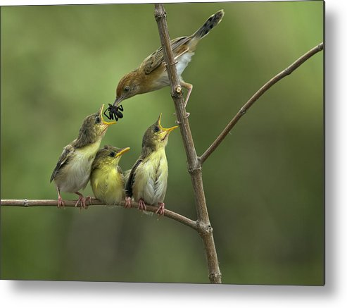 Horizontal Metal Print featuring the photograph Golden Headed Cisticola by Photowork by Sijanto