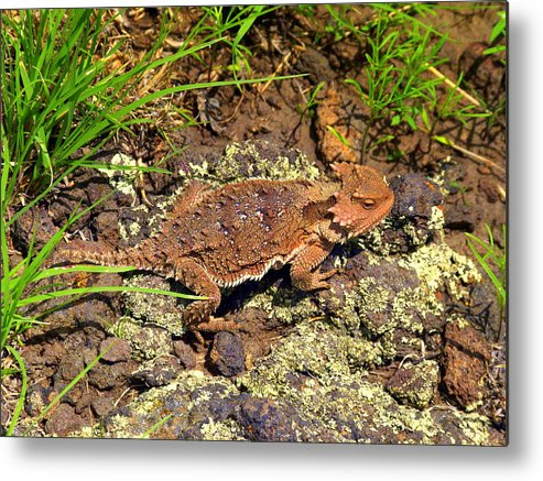 Greer Metal Print featuring the photograph Horny Toad Lizard by Eric Neitzel